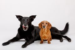 Crossbreed dog and Dachshund, best friends Stock Photo