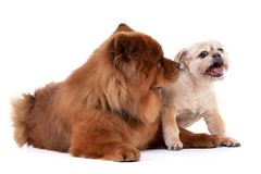 Studio shot of an adorable Havanese and a Chow Chow Stock Images