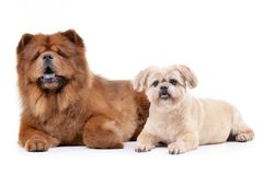 Studio shot of an adorable Havanese and a Chow Chow Stock Photo