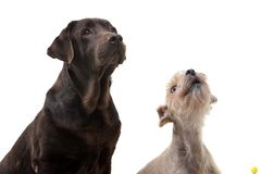 Studio shot of an adorable mixed breed dog and a Labrador retriever Royalty Free Stock Images