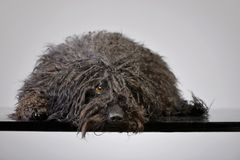 Studio shot of an adorable Puli stock photo