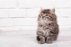 Young fluffy kitten Royalty Free Stock Photography