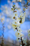 Studio shot of apricot blossom brunch over blue Royalty Free Stock Photos