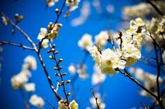 Studio shot of apricot blossom brunch over blue Stock Photos
