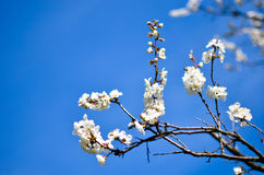 Studio shot of apricot blossom brunch over blue Royalty Free Stock Images