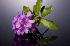 Studio shot of azalea. Stock Image