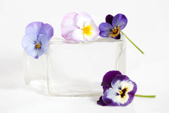 Studio Shot of Blue Colored Pansy Flower. In the phial Isolated on White Background Stock Image