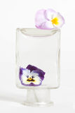 Studio Shot of Blue Colored Pansy Flower. In the phial Isolated on White Background Royalty Free Stock Images