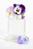 Studio Shot of Blue Colored Pansy Flower. In the phial Isolated on White Background Stock Images