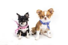 Chihuahua puppies Stock Image