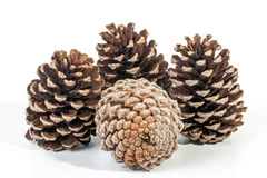 Studio Shot Cluster of Four Old  Pine Cones Stock Image