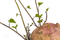 Studio Shot of Colorful Sprouting Sweet Potato Shoots Royalty Free Stock Image