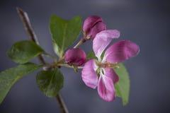 Studio shot of crab apple flower. A studio macro shot of a flower from the crab apple tree Royalty Free Stock Photos
