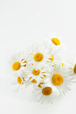 Studio shot of daisy flowers Stock Photography