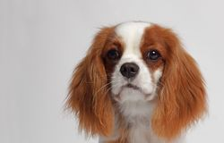 CAVALIER KING CHARLES SPANIEL dog. Studio shot of a dog with a white background Royalty Free Stock Photo