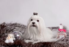 Maltese dog Royalty Free Stock Photos