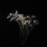 Studio shot of dried delicate white flowers Stock Photos