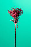 Studio shot of a dry Protea flower Stock Photography