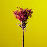 Studio shot of a dry Protea flower Royalty Free Stock Images