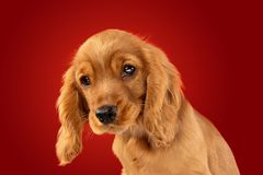 Studio shot of english cocker spaniel dog isolated on red studio background. Perfect companion on the way. English cocker spaniel young dog is posing. Cute stock photography