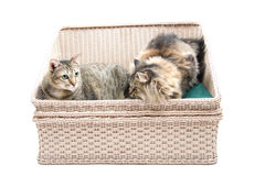 Fat Thai Cat and Persian Cat lay on the bed together Stock Photo