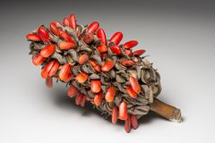 Red seeds of Magnolia grandiflora. Royalty Free Stock Images