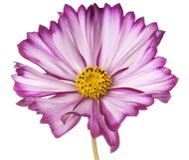 Cosmos flower isolated Stock Photos