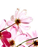 Studio Shot of Fuchsia Colored Cosmos Flowers Isolated on White Background Stock Image
