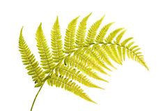 Studio shot of a green fern Royalty Free Stock Photography