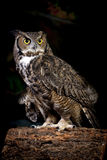 Studio shot of horned owl. Royalty Free Stock Photography