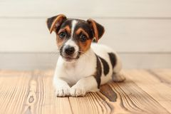 Studio shot - Jack Russell terrier puppy laying on wooden boards royalty free stock photos