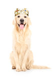 A studio shot of a labrador retriever with crown on his head Royalty Free Stock Photography