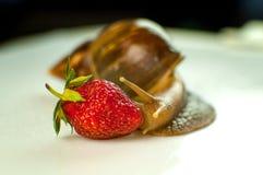 Studio Shot of Large Brown Snail Achatina Eating Red Ripe Strawberry. Studio Shot of Large Brown Snail Achatina Eating Red Ripe Strawberry stock photo