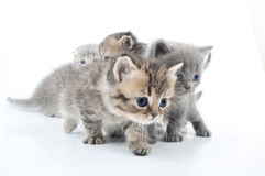 Studio shot  of little kittens isolated over white Stock Images