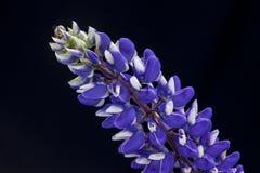 Studio shot of Lupine flower. Stock Photo