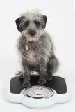 Studio Shot Of Lurcher Dog Sitting On Bathroom Scales Stock Images
