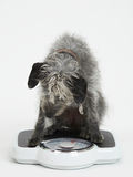 Studio Shot Of Lurcher Dog Sitting On Bathroom Scales Royalty Free Stock Photos