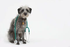 Studio Shot Of Lurcher Dog Wearing Stethoscope Royalty Free Stock Image