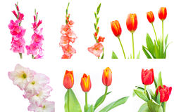 Studio Shot of mixed Colored Gladiolus and tulip Isolated on White Backgroud Stock Image