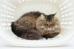 Persian Cat inside the Basket Royalty Free Stock Image