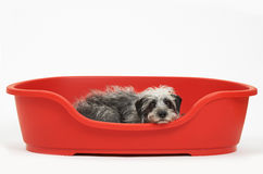 Studio Shot Of Pet Lurcher Lying In Red Dog Bed Stock Photo