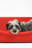 Studio Shot Of Pet Lurcher Lying In Red Dog Bed Royalty Free Stock Image