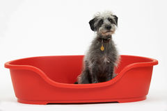 Studio Shot Of Pet Lurcher Sitting In Red Dog Bed Royalty Free Stock Photo