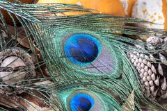 Studio shot of poeacock feather. Peacock feather studio shot in close upstudio shot stock image