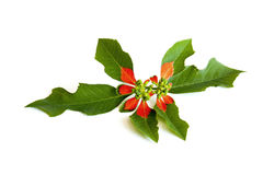Studio Shot Poinsettia Flower and leaves on white Royalty Free Stock Images
