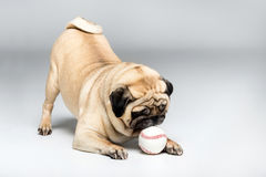 Studio shot of pug dog playing with ball Royalty Free Stock Photo