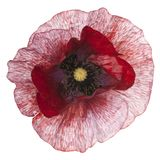Poppy flower isolated Stock Images