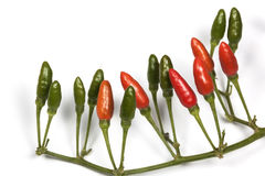 Studio Shot  Red and Green Devil Chillies 5 Royalty Free Stock Photo