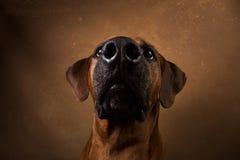 Studio shot of a Rhodesian Ridgeback Dog on brown Background royalty free stock photography