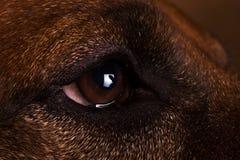 Studio shot of a Rhodesian Ridgeback Dog on brown Background stock images